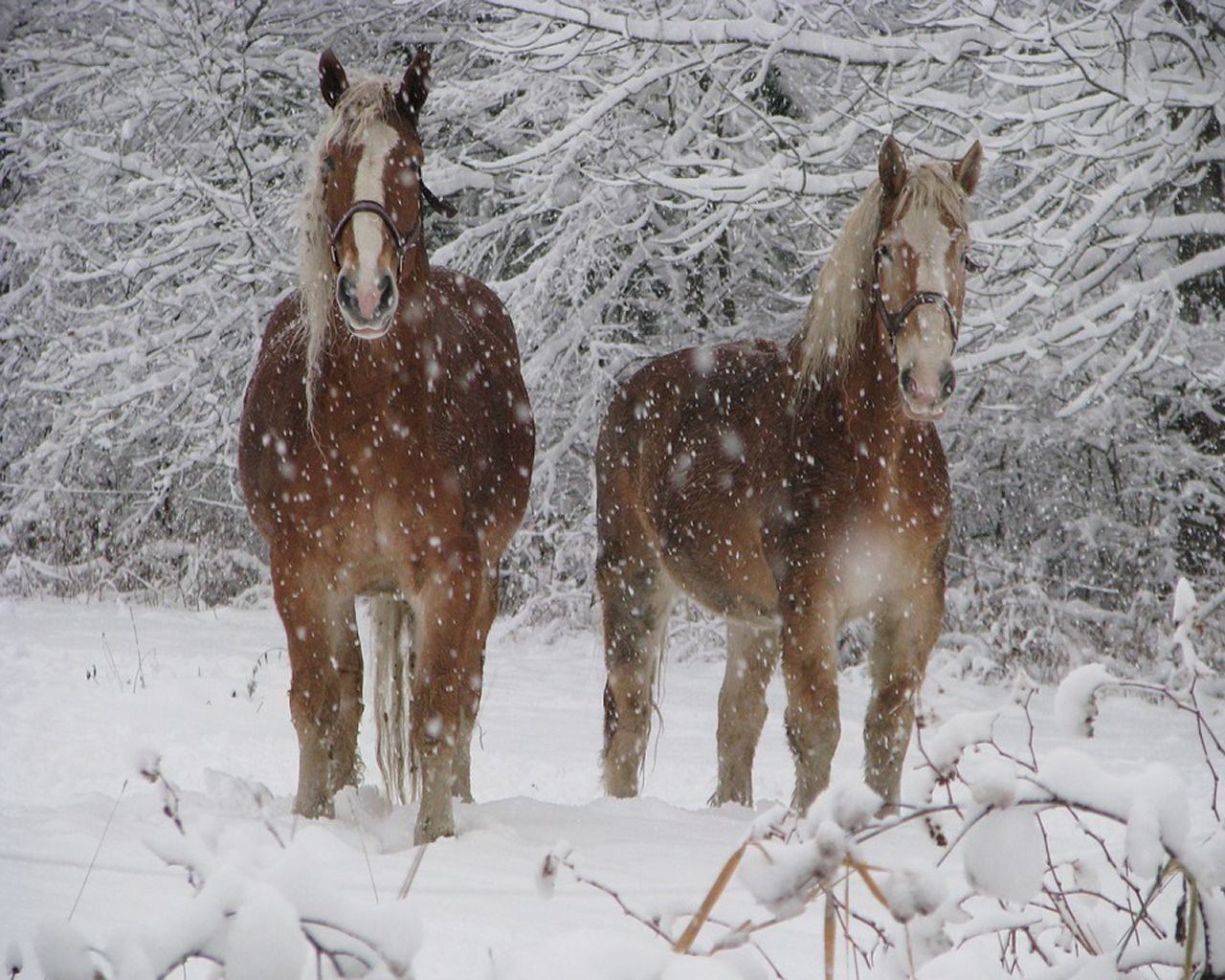 Simple Wallpaper Horse Winter - dec112015_1280x1024  Pictures_93628.jpg