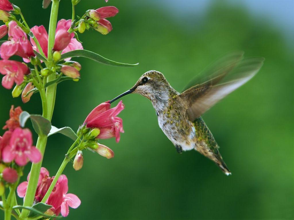 Lovely hummingbird Hummingbird garden, How to attract